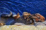 La Jolla Cove, Ca. Sea Lions (12096859546).jpg