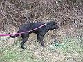 Labrador retriever mâle.jpg
