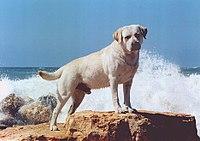 Labrador Retriever - Wikipedia