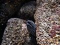 Laced Moray.jpg