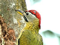 Laced Woodpecker.jpg