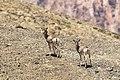 Ladakh Urial (167275763).jpeg