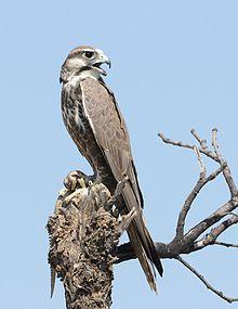 Laggar falcon - Wikipedia