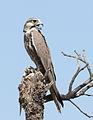 Laggar Falcon (Falco jugger).jpg