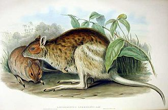 Spectacled hare-wallaby - Plate 59 of Mammals of Australia Vol. II