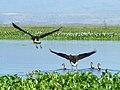 Lake Naivasha National Park - panoramio - Николай Максимович (2).jpg