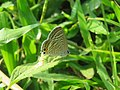 Lampides boeticus - Pea Blue at Aralam Wildlife sanctuary during Aralam butterfly survey 2020 (12).jpg
