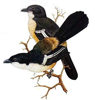 Southern boubou species of bird