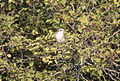 Lanius collurio - Red-backed shrike 04.jpg