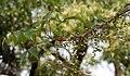 Lannea coromandelica (Wodier Tree) fruits in Hyderabd W IMG 7570.jpg