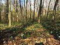 Large-flowered Trillium - Trillium grandiflorum, G.R. Thompson Wildlife Management Area, Linden, Virginia - 01.jpg