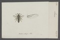 Larra - Print - Iconographia Zoologica - Special Collections University of Amsterdam - UBAINV0274 043 10 0002.tif