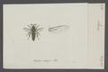 Larra - Print - Iconographia Zoologica - Special Collections University of Amsterdam - UBAINV0274 043 10 0002.tif