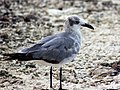 Larus atricilla - Laughing Gull.jpg