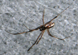 Latrodectus hasselti male.png