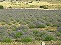 Lavanta tarlası - panoramio.jpg