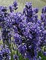 Lavender (29343208098).jpg