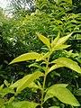 Leaves and trees palavangudi jpg 29.jpg