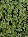 Leaves of Wall Pennywort by the coast path - geograph.org.uk - 1168692.jpg