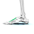 Left Second metatarsal bone02 lateral view.png