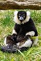 Lemur (26618788587).jpg
