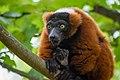 Lemur (36446093972).jpg