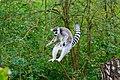 Lemur (36475904354).jpg