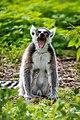 Lemur (37170597501).jpg