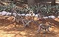 Lemur catta 003.jpg