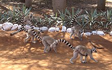A small group of five ring-tailed lemurs walks as a group along a dirt road