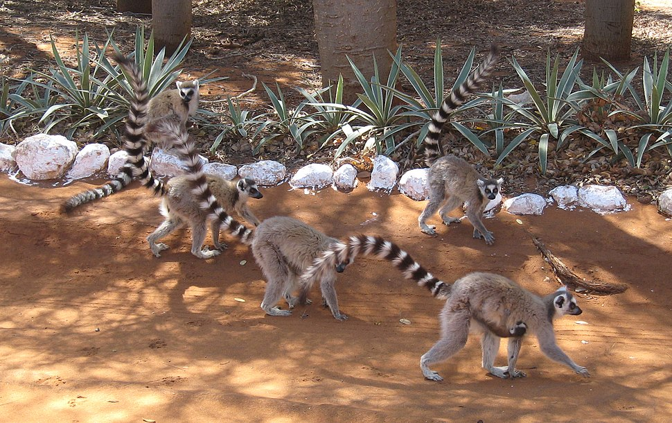 Lemur catta 003