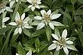 Leontopodium japonicum 12.jpg