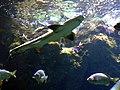 Leopard shark 3.jpg