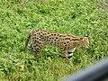 Leptailurus serval, Ngorongoro Crater (Tanzania).jpg