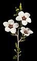 Leptospermum exsertum - Flickr - Kevin Thiele.jpg