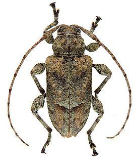 <i>Leptostylopsis annulipes</i> Species of beetle