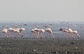 Lesser Flamingos at Sewri harbour(Mumbai).jpg