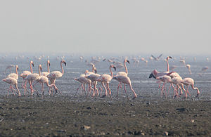 Sewri - Lesser flamingos at Sewri jetty mudflats in early morning(January,2013)