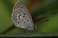 Lesser Grass Blue from West-Java (6488072857).jpg