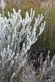 Leucospermum royenifolium (Proteaceae) (4575522181).jpg