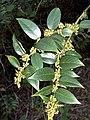 Leucothoe fontanesiana (homeredwardprice) 001.jpg