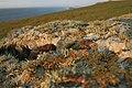 Lichen, Kelsey Head - geograph.org.uk - 690202.jpg