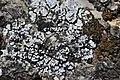 Lichen (44129835992).jpg
