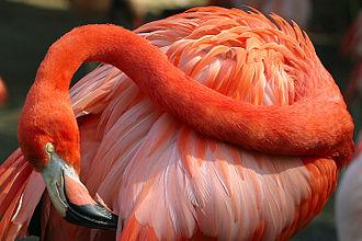 Guajira-Barranquilla xeric scrub - Caribbean flamingo (Phoenicopterus ruber)