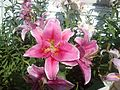 Lilie 2 unidentified.jpg