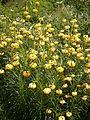 Lilium pyrenaicum 01.jpg