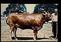Limousin = 世界の牛 リムーザン(雌) (36536958362).jpg