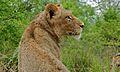 Lion (Panthera leo) (6011822891).jpg