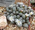 Lithops marmorata - RSA.jpg