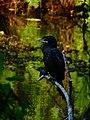 Little Cormorant in Thalangama Lake.jpg